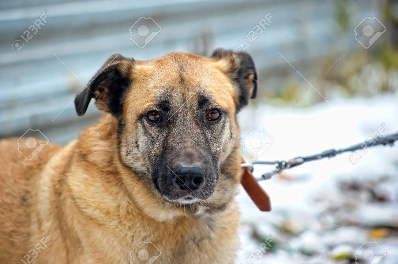 red dog Stock Photo - 16194177