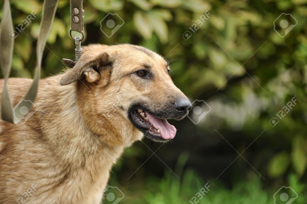 Half-breed hound dog Stock Photo - 16444459