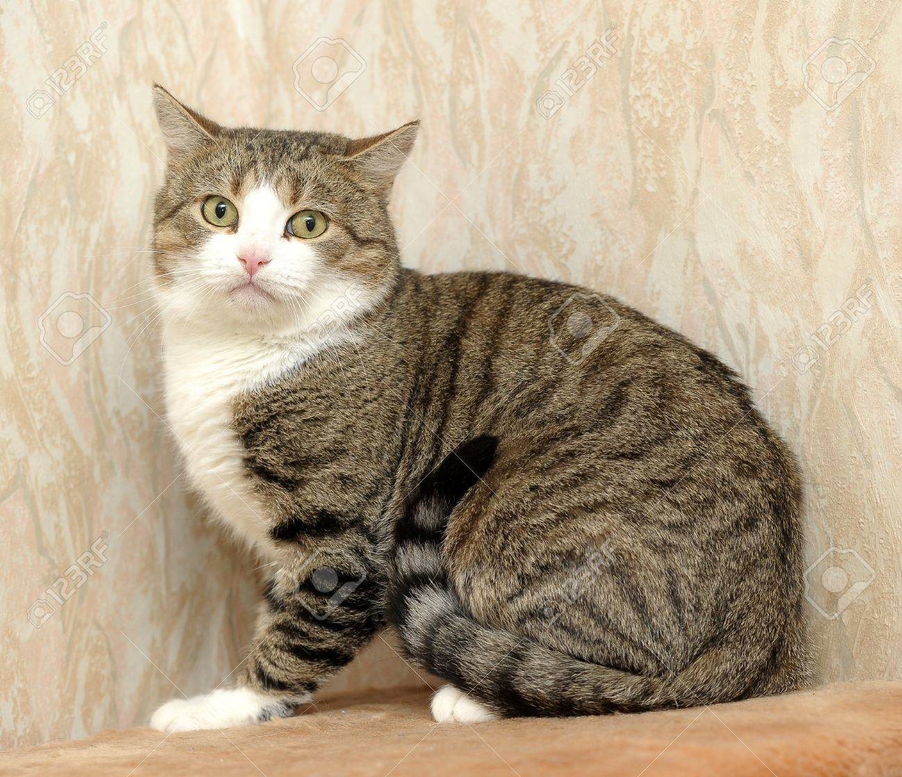 european shorthair cat stock photo picture and royalty free image