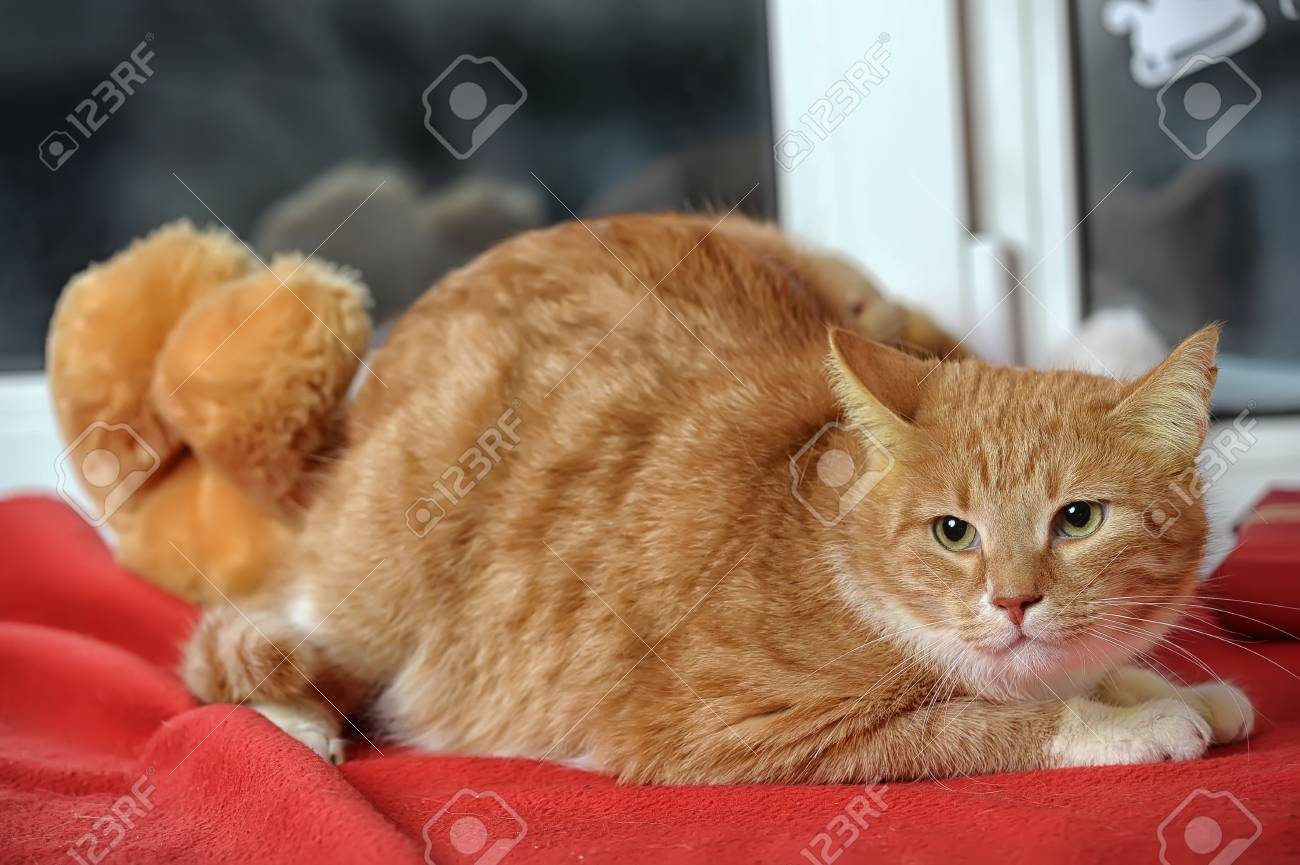 ginger tabby cat Stock Photo - 17391599