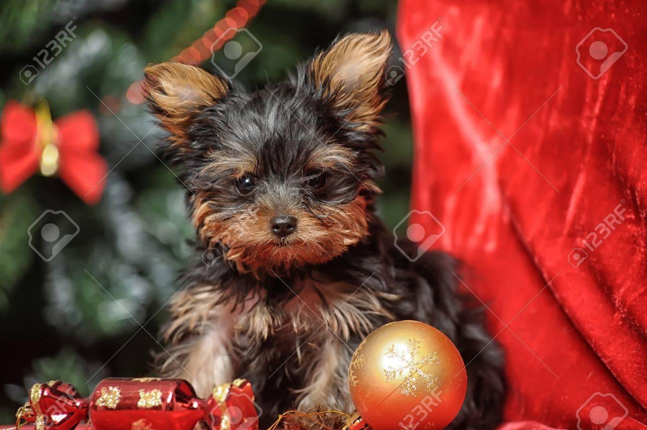 York puppy Stock Photo - 17387495