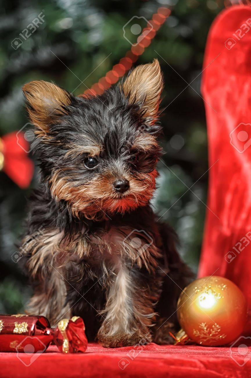 York puppy Stock Photo - 17387494