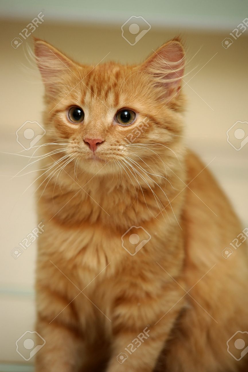 Ginger Mixed Breed Cat 6 Months Old Sitting Stock Picture