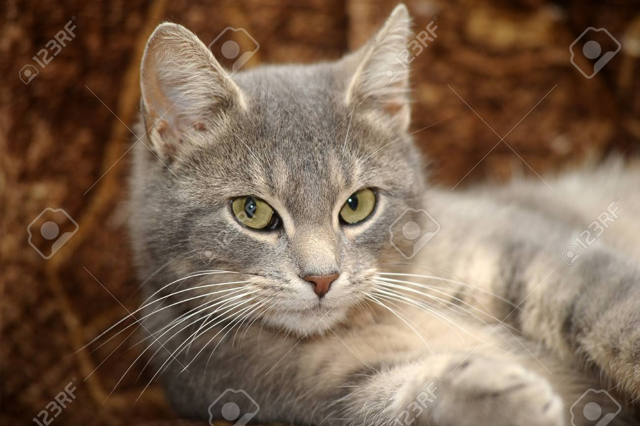 beautiful gray cat Stock Photo - 17933745