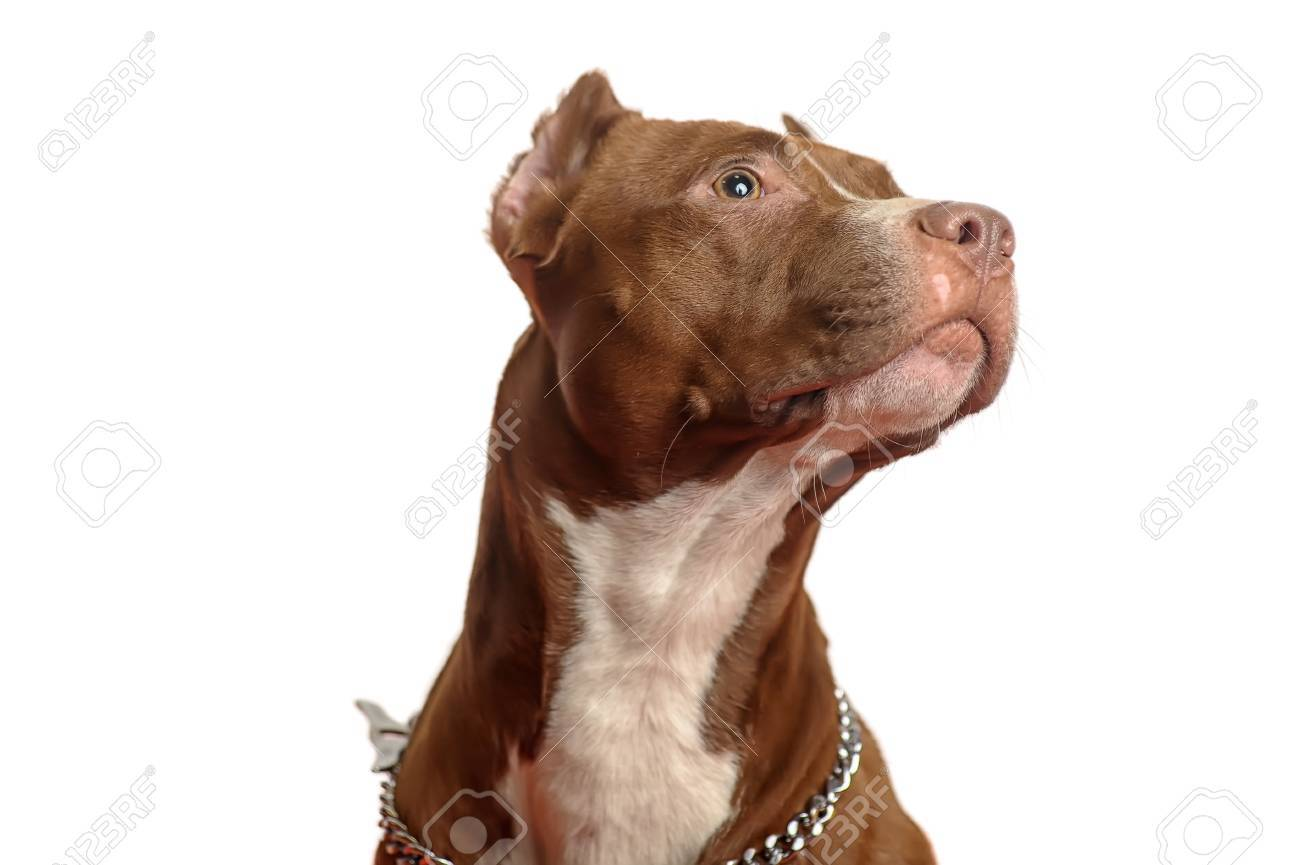 Studio dog Stock Photo - 17960125