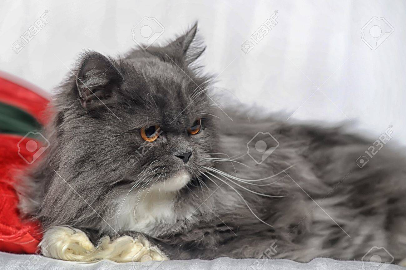 Gray And White Persian Cat Stock Photo Picture And Royalty Free Image Image 17909589