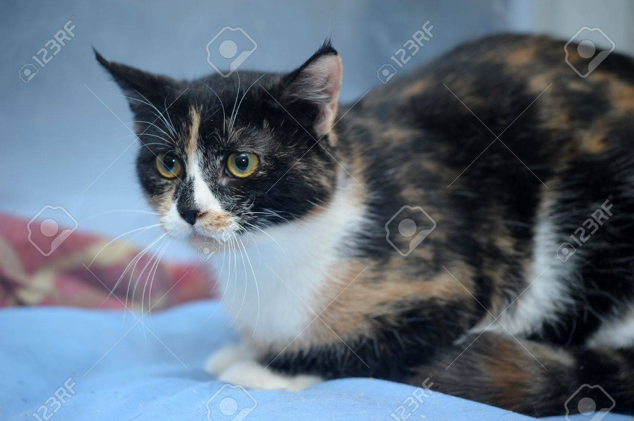 Black And White And Red Tricolor Cat Stock Photo, Picture And ...