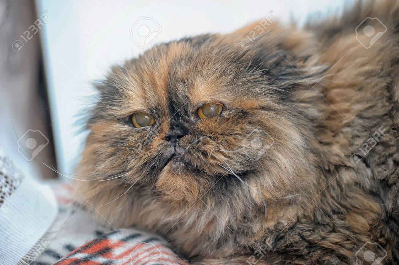 angry Persian cat Stock Photo - 18543769