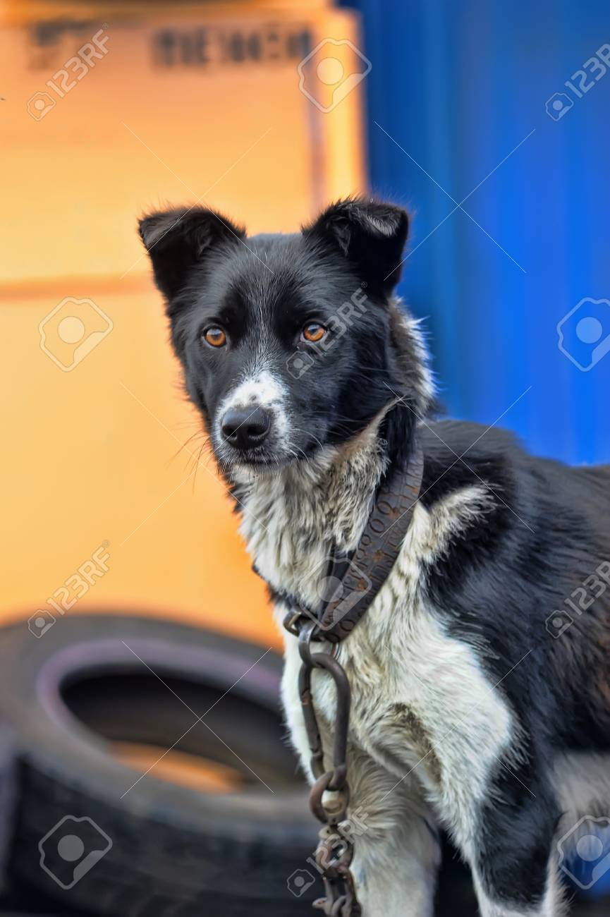 dog on a chain Stock Photo - 17928156