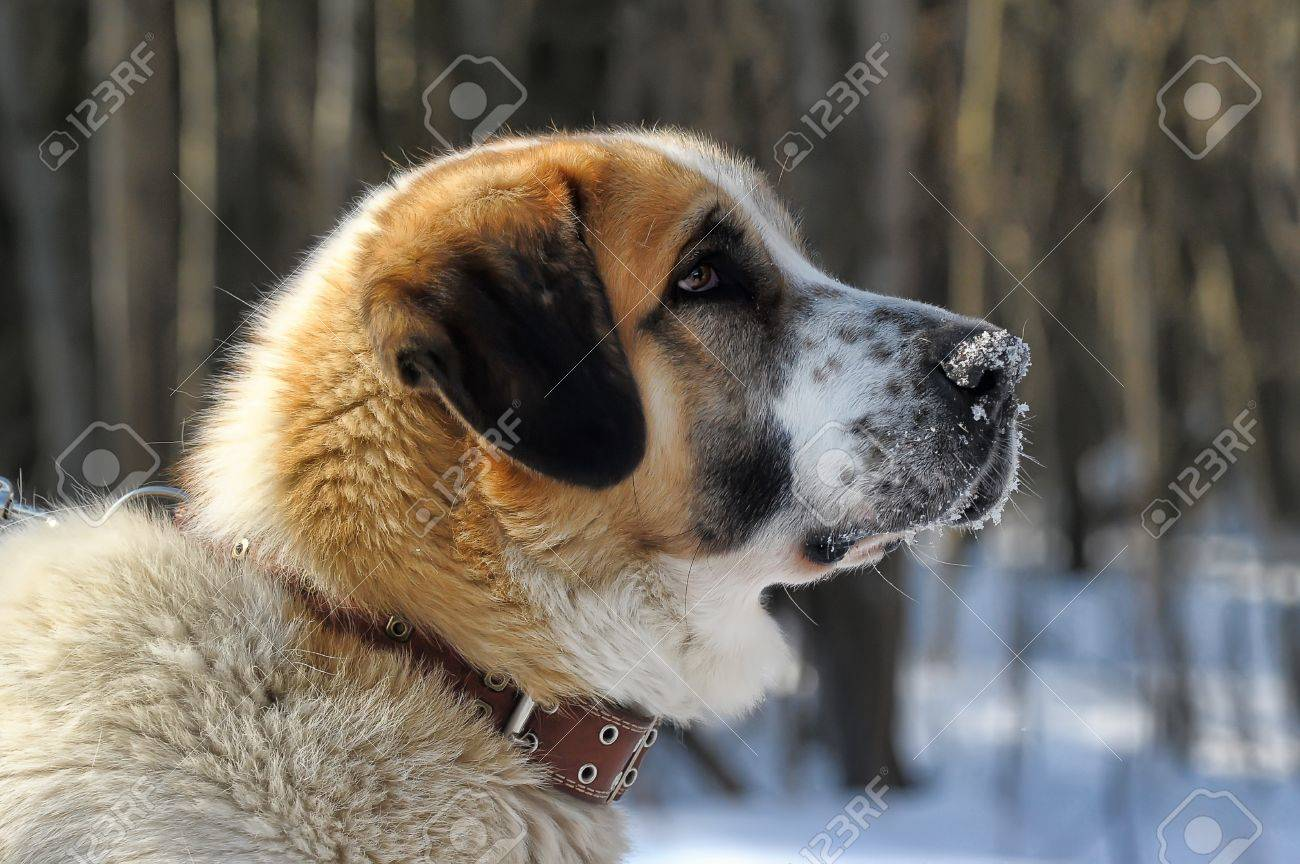 St  Bernard dog Stock Photo - 18806885