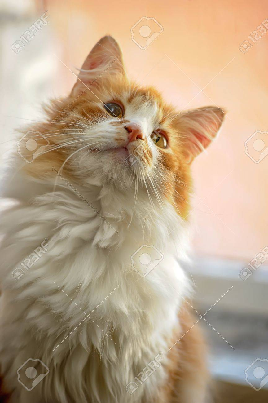 red with white fluffy cat Stock Photo - 19560719