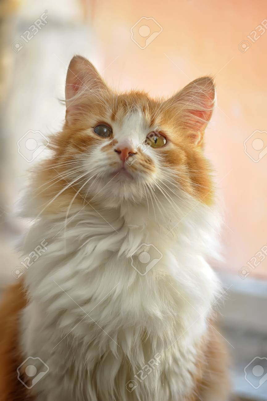 red with white fluffy cat Stock Photo - 19560721
