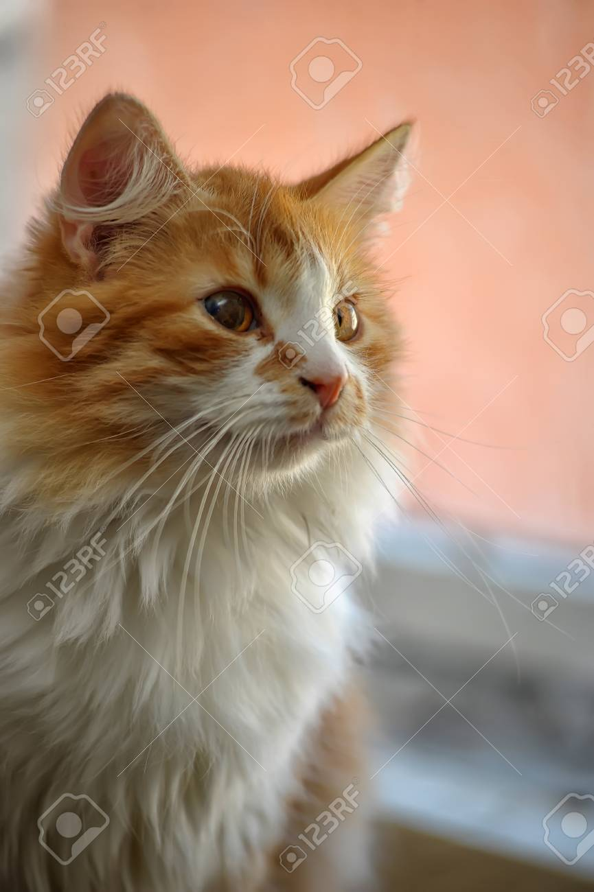 red with white fluffy cat Stock Photo - 19560723