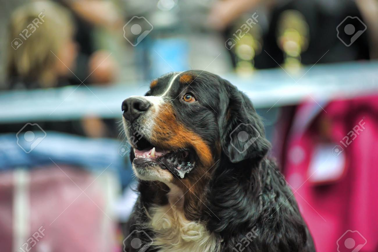 Bernese Mountain Dog Stock Photo - 19428094