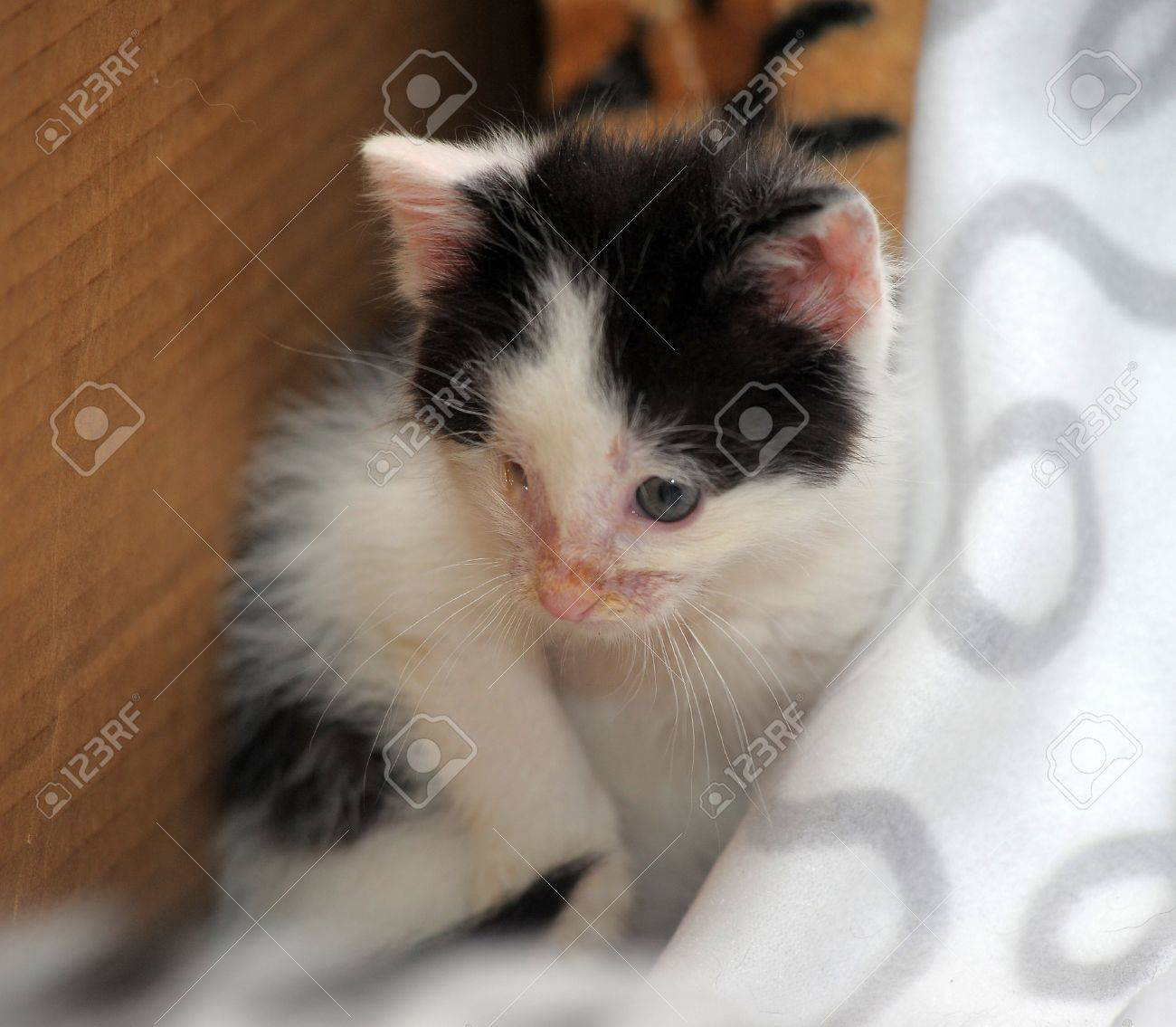 small kitten with diseased eyes rescued zoo defenders Stock Photo - 19577565