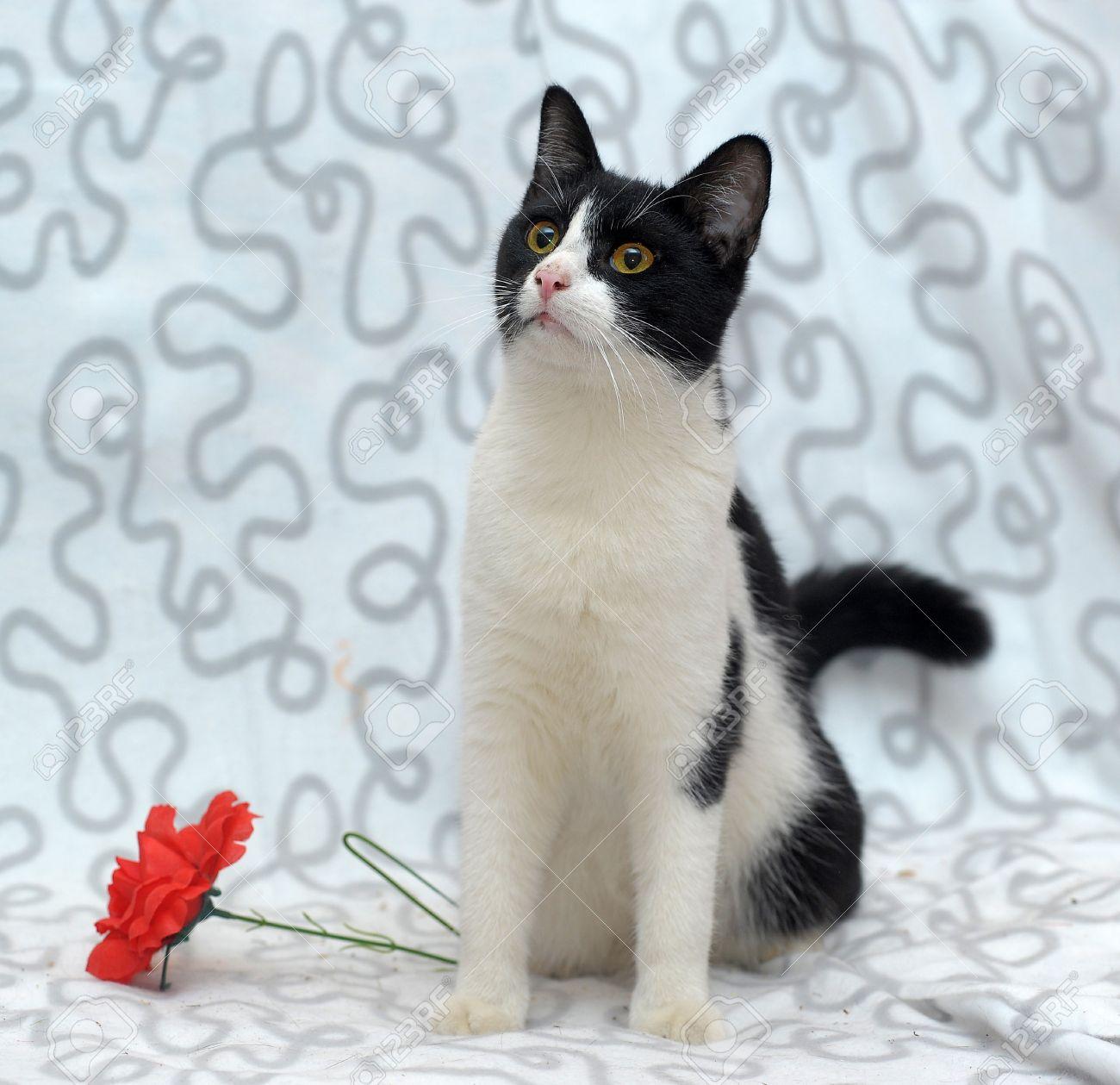Fabulous Chat Noir Et Blanc Avec Une Fleur Rouge Banque D'Images Et Photos  JY65