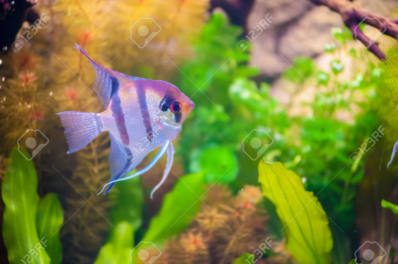 Blue Stripped Tropical Fish Stock Photo - 19891318