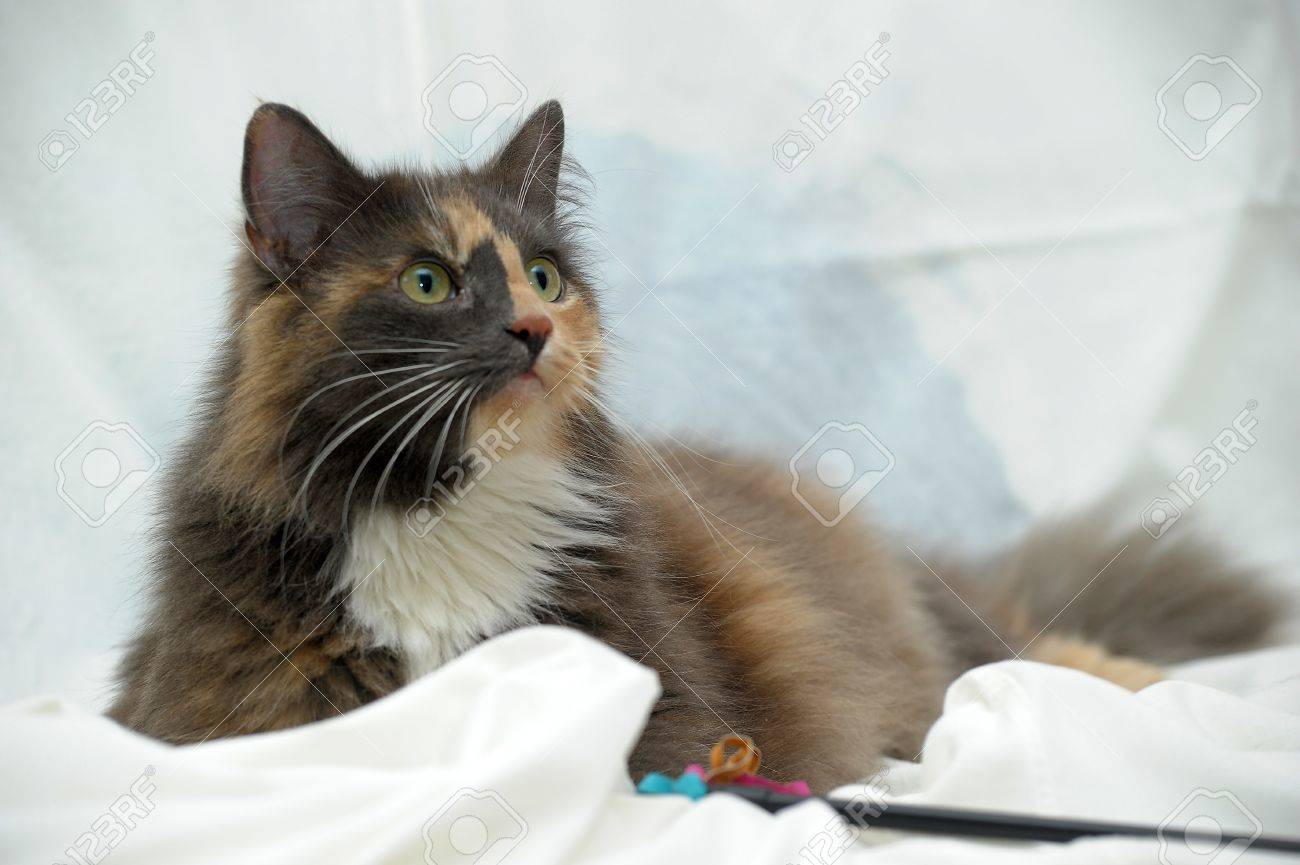 Beautiful three-colored fluffy cat Stock Photo - 21025588