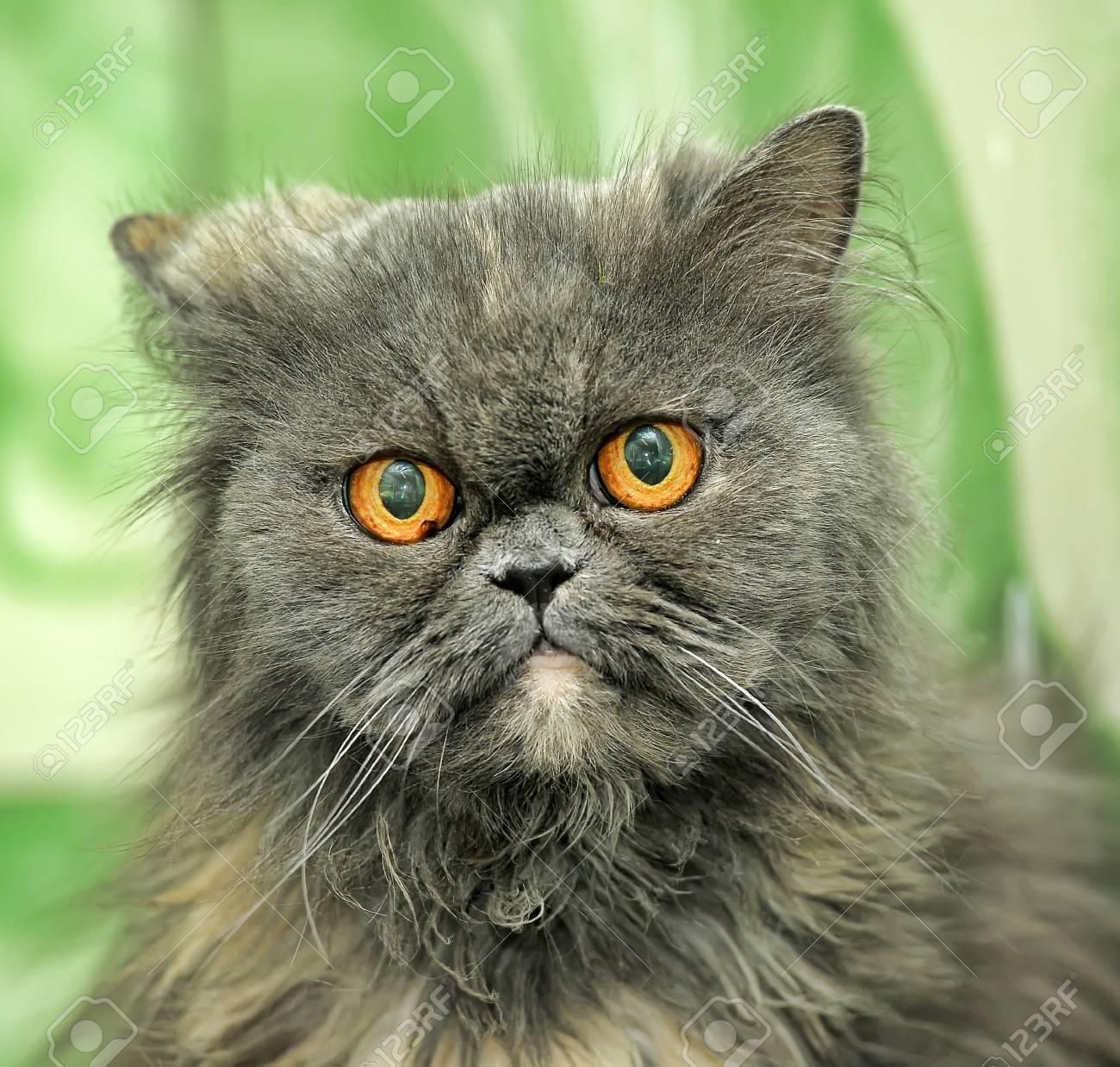 Gray Persian cat Stock Photo - 21478461