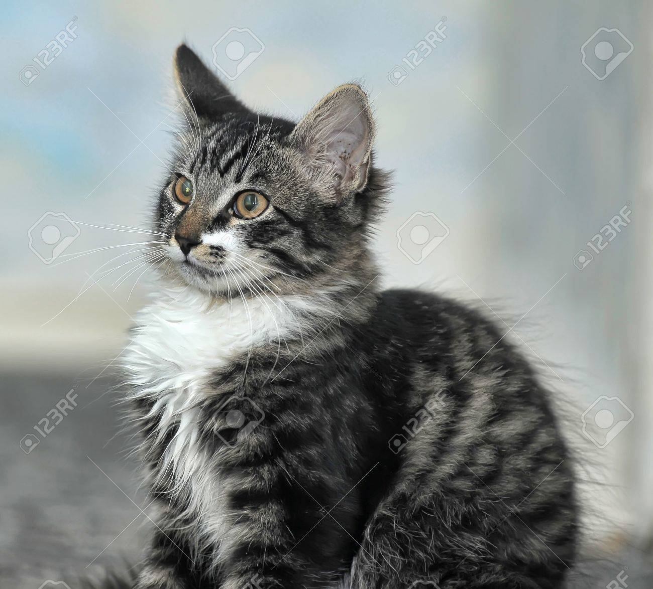 4 month old maine coon