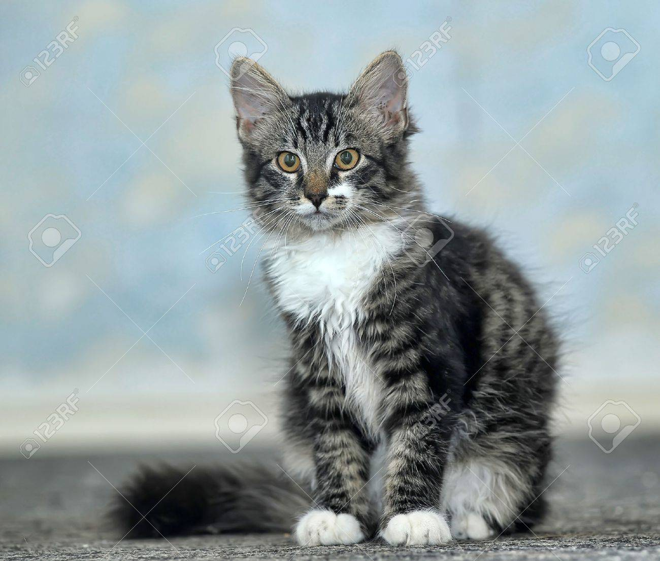 Maine coon at 4 months