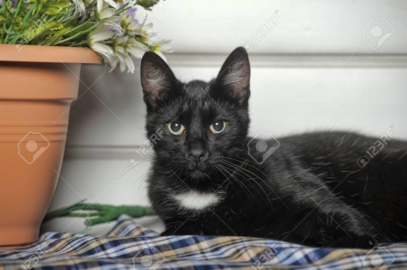 Immagini Stock Gatto Nero Con Una Macchia Bianca Sul Petto è