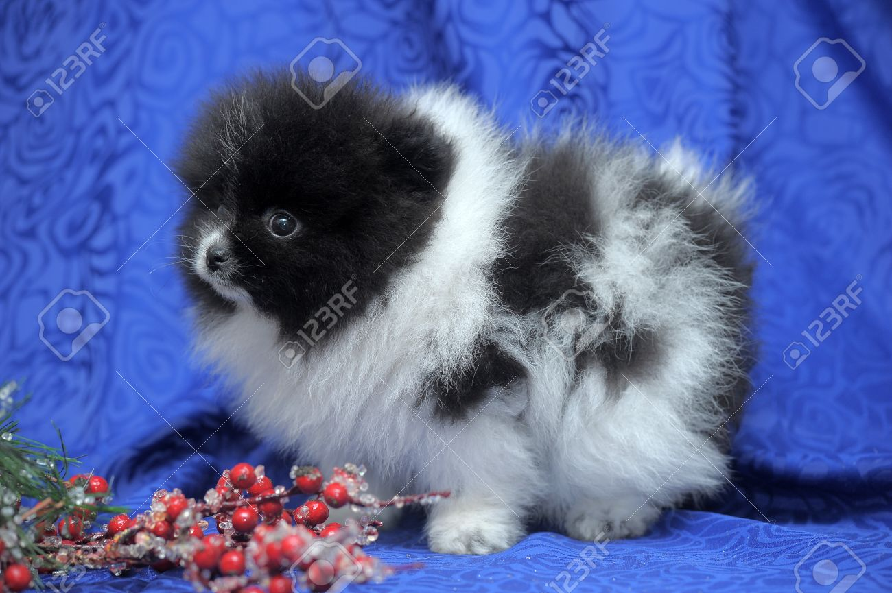 Black And White Pomeranian Puppy Stock Photo Picture And Royalty Free Image Image 26507032