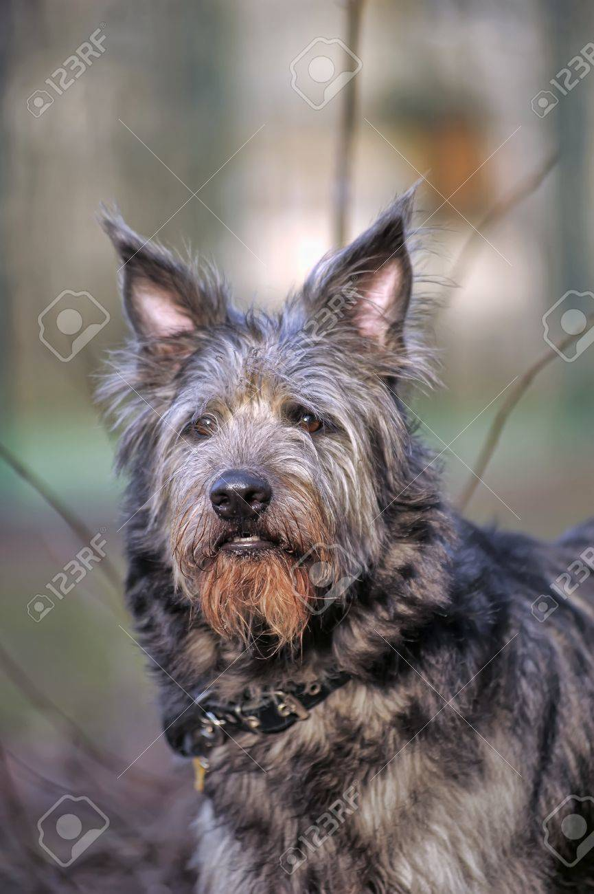 portrait of long haired terrier dog