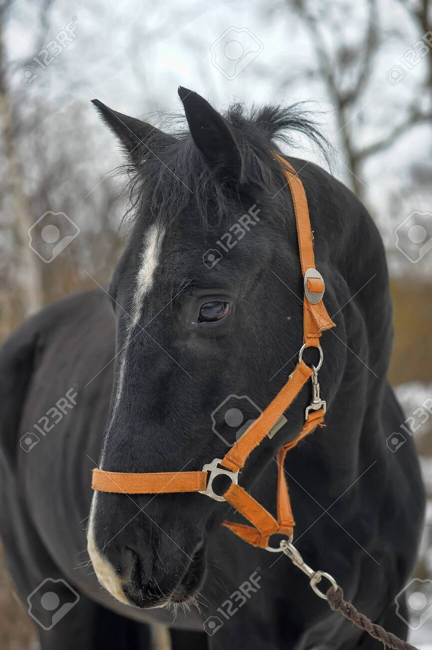 Black Horse Head With A White Patch On The Muzzle Stock Photo Picture And Royalty Free Image Image 73261251