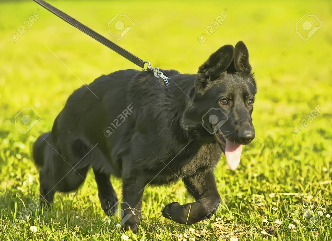 German Shepherd Puppy Black Stock Photo Picture And Royalty Free