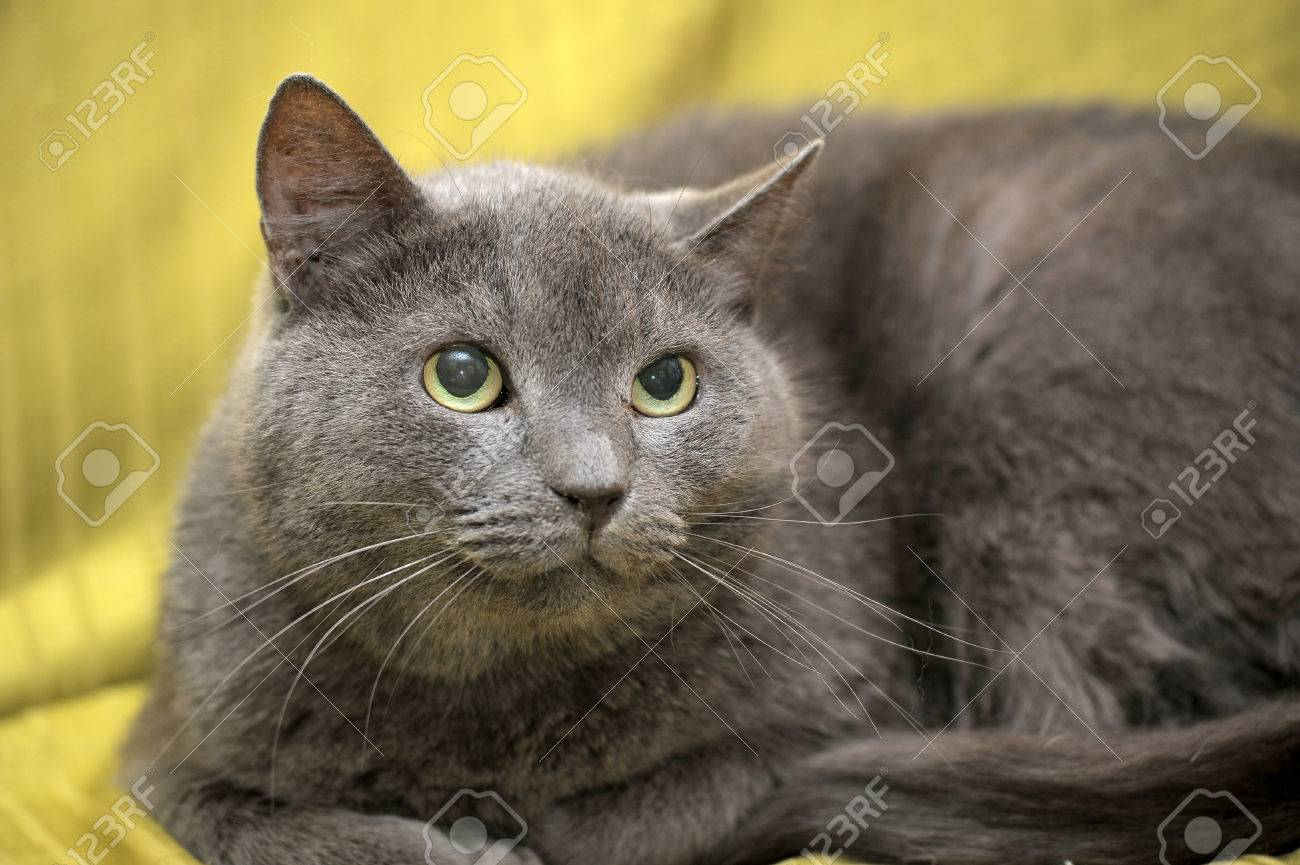 Korat Cat Breed Stock Picture And Royalty Free Image Image