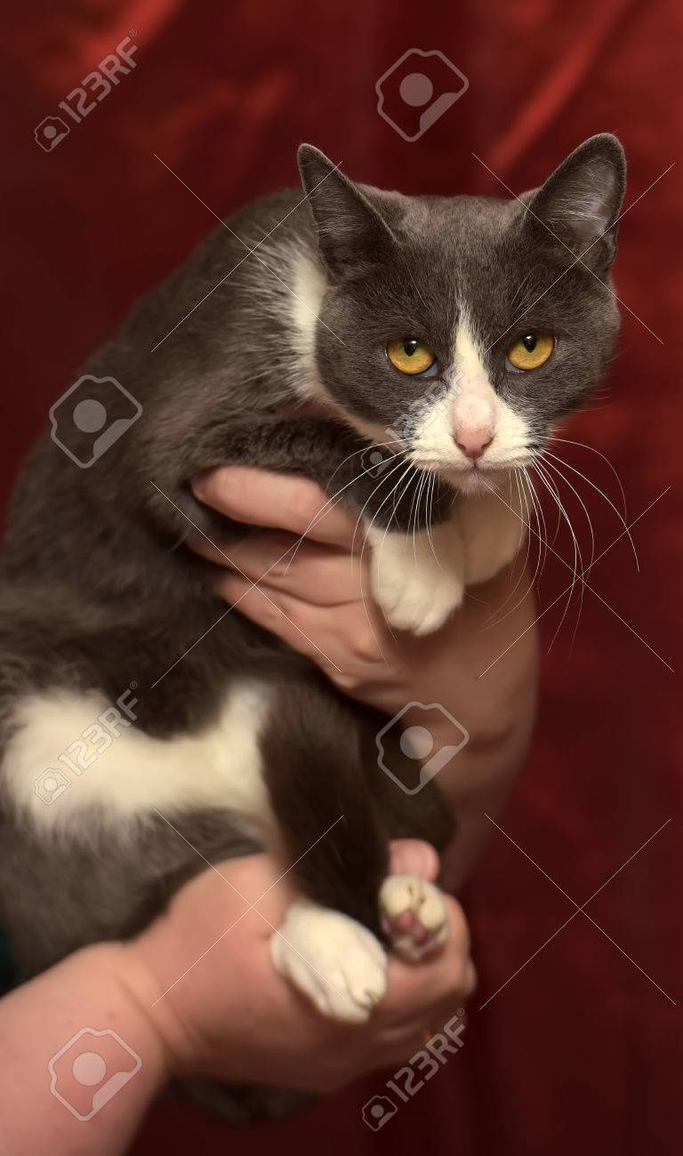 Gray And White Shorthair Cat Half Breed Russian Blue In Her Arms Stock Photo Picture And Royalty Free Image Image 47072254