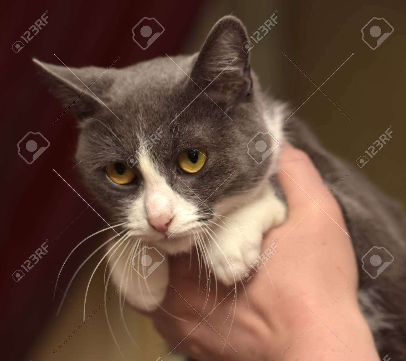 Gray And White Shorthair Cat Half Breed Russian Blue In Her Arms Stock Photo Picture And Royalty Free Image Image 47073074