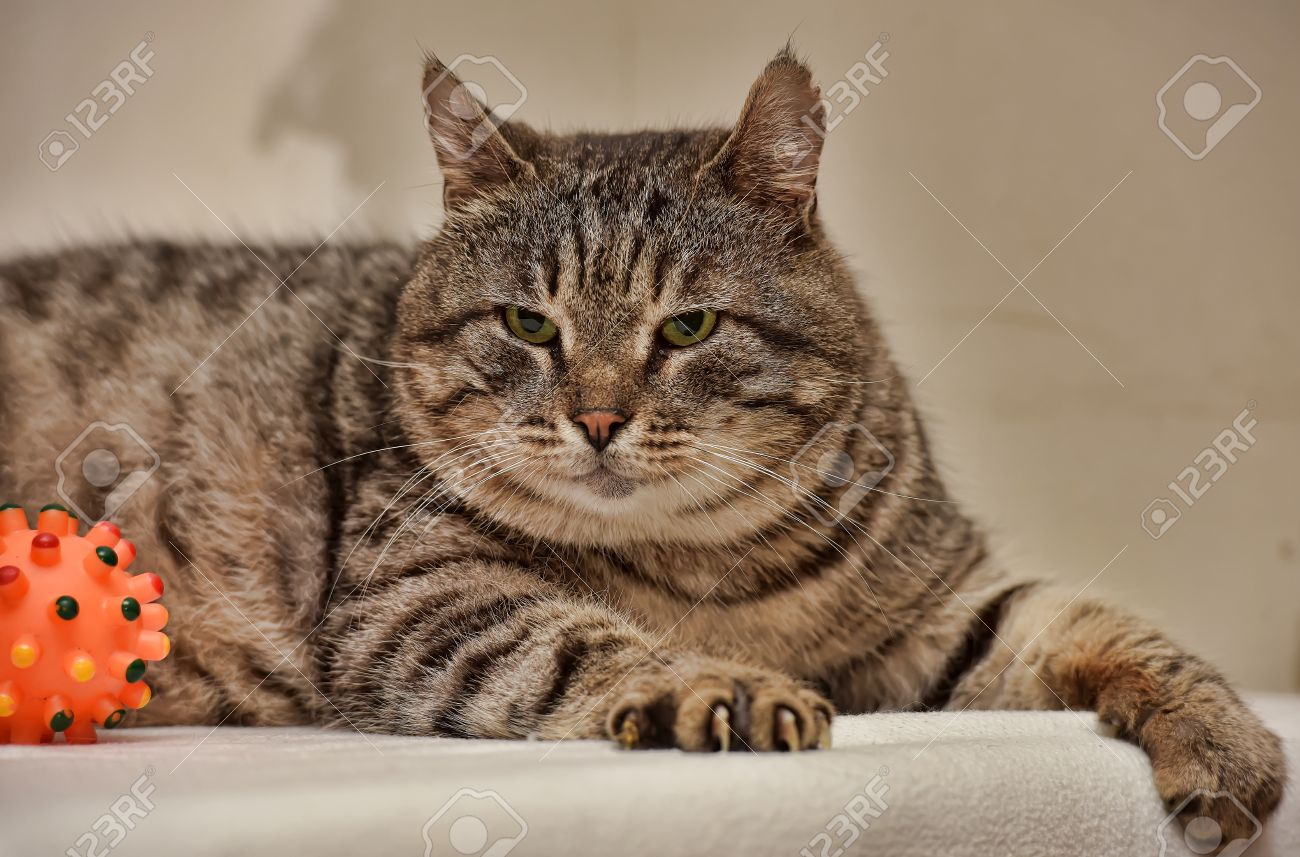 Fat Tabby Cat European Shorthair Stock Picture And Royalty