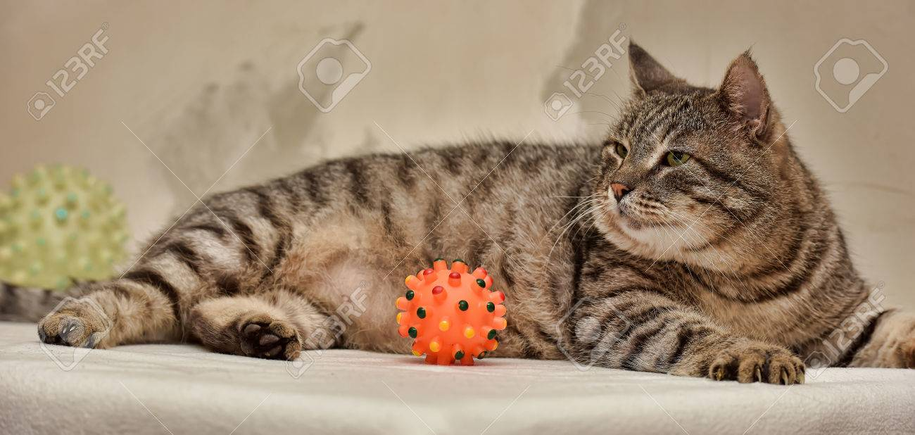 fat tabby cat european shorthair banco de imagens royalty free