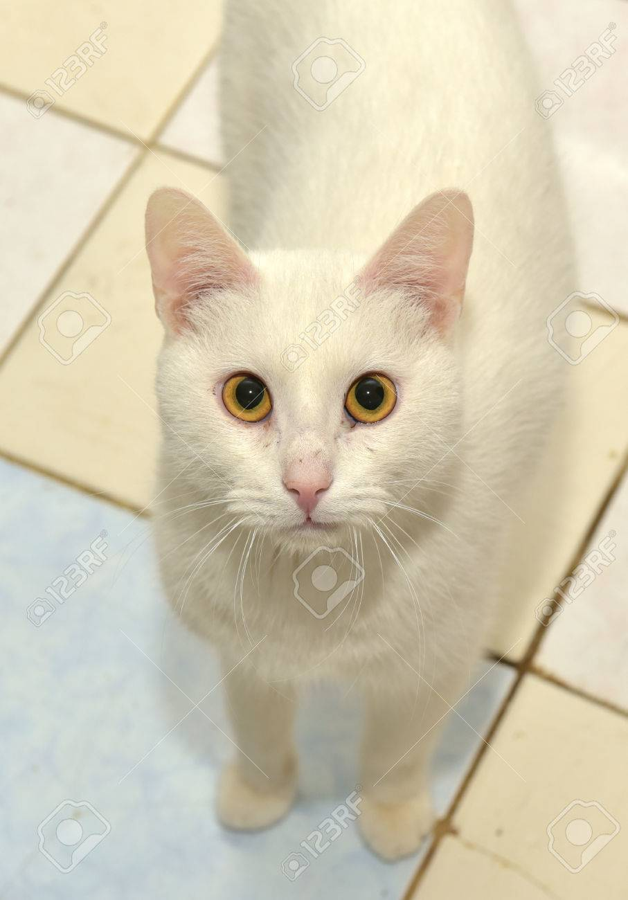 White Cat With Orange Eyes Stock Photo Picture And Royalty Free Image Image 52874088