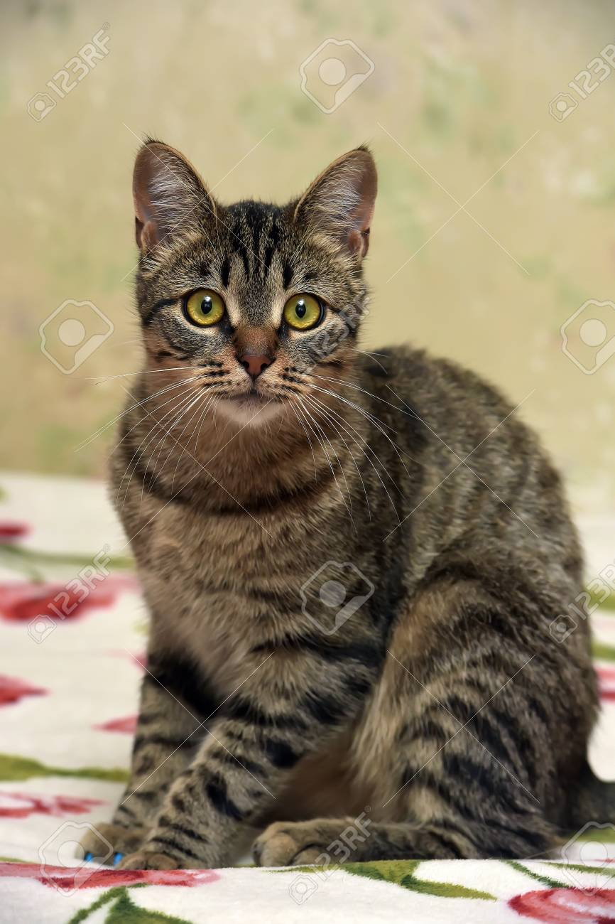 Beautiful Tabby Cat Stock Photo Picture And Royalty Free Image Image 78152514