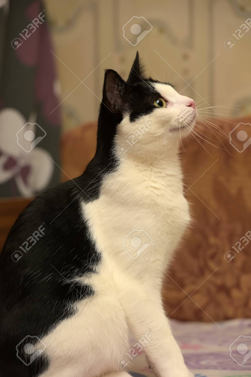 Beautiful Black And White Shorthair Cat. Stock Photo, Picture And ...