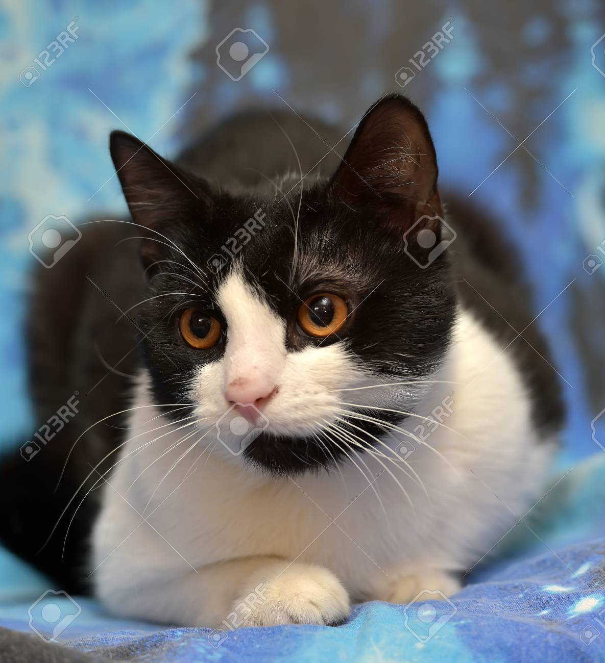 Black With White Short Haired Cat With Orange Eyes Lies On A Stock Photo Picture And Royalty Free Image Image 79233794