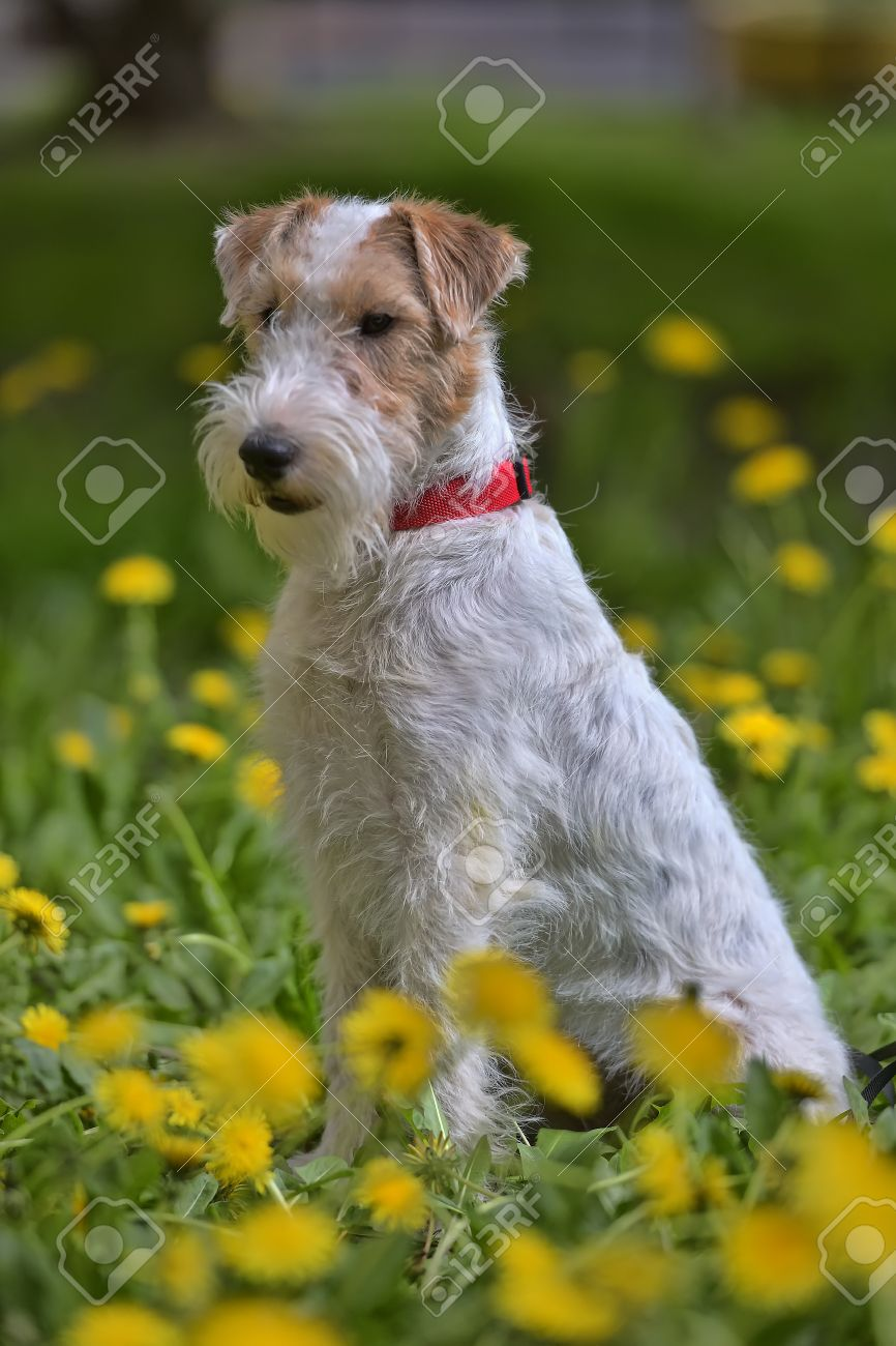 white with red airedale terrier among yellow dandelions stock photo