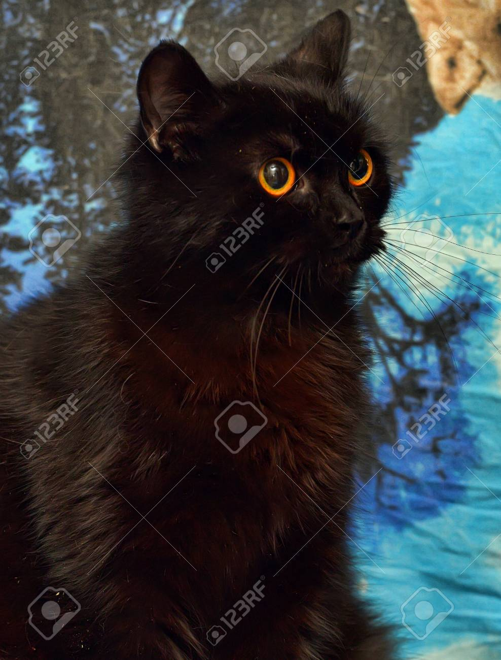 Furry Black Cat With Orange Eyes On A Blue Background Stock Photo Picture And Royalty Free Image Image 109070489