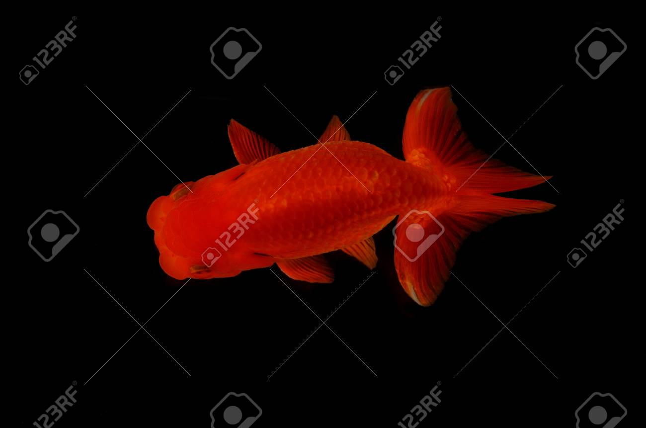 Top view Lion head goldfish on black background Stock Photo - 17944995