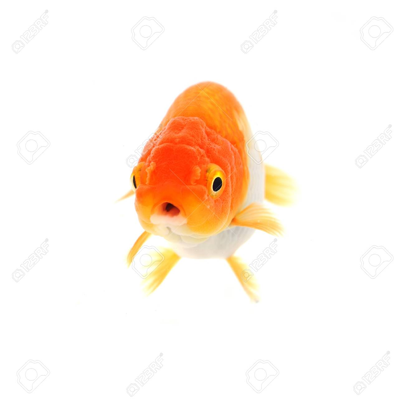 Gold fish. Isolation on the white Stock Photo - 17944769