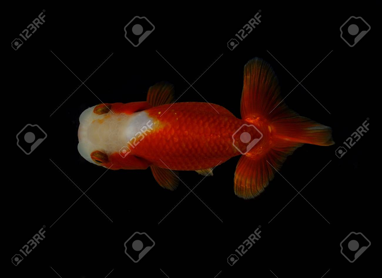 Top view Lion head goldfish on black background Stock Photo - 17944991