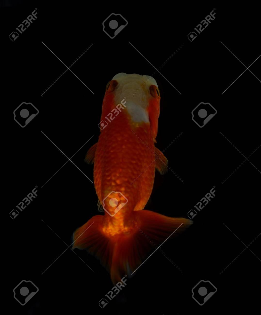 Top view Lion head goldfish on black background Stock Photo - 17944840