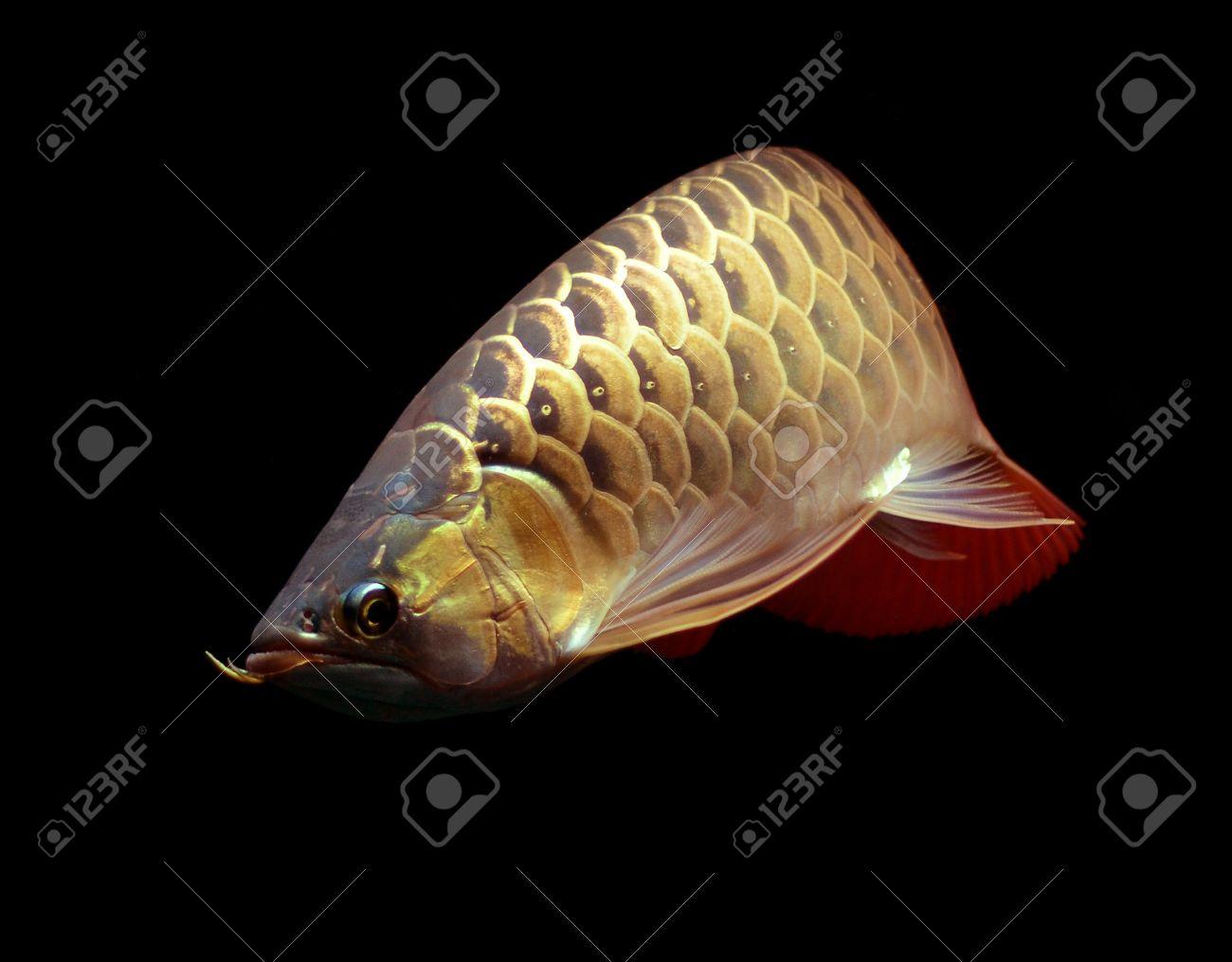 Asian Red Arowana fish on black background Stock Photo - 18094277