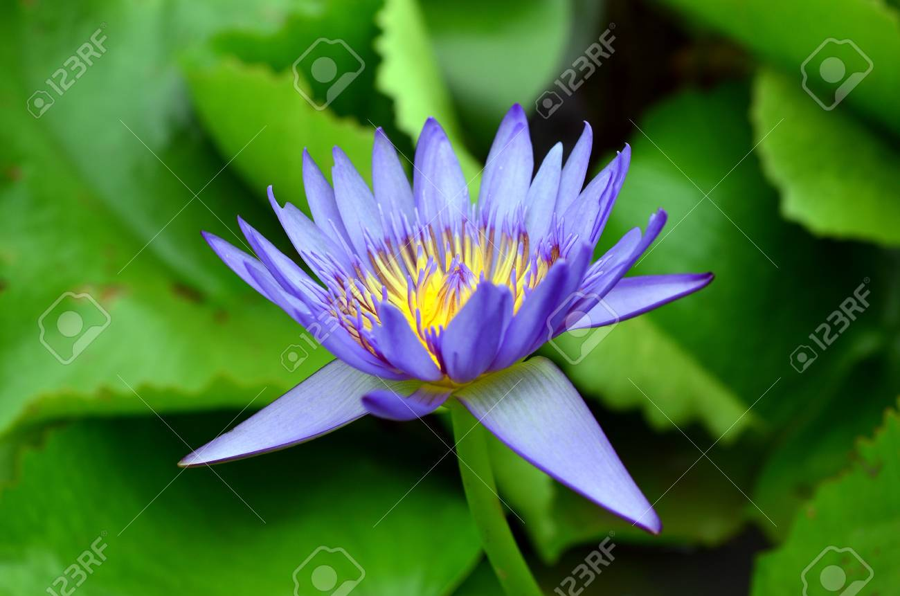 Lotus blossoms or water lily flowers blooming stock photo picture lotus blossoms or water lily flowers blooming stock photo 21616868 izmirmasajfo