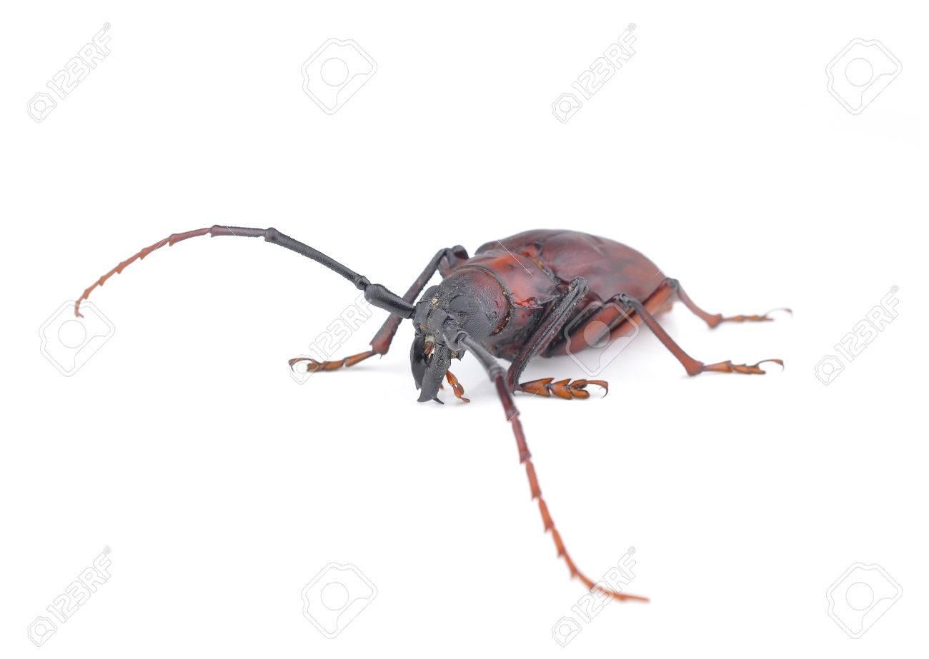 Arten Der Bockkäfer Käfer Weaver Käfer Käfer Isoliert Auf Weißem