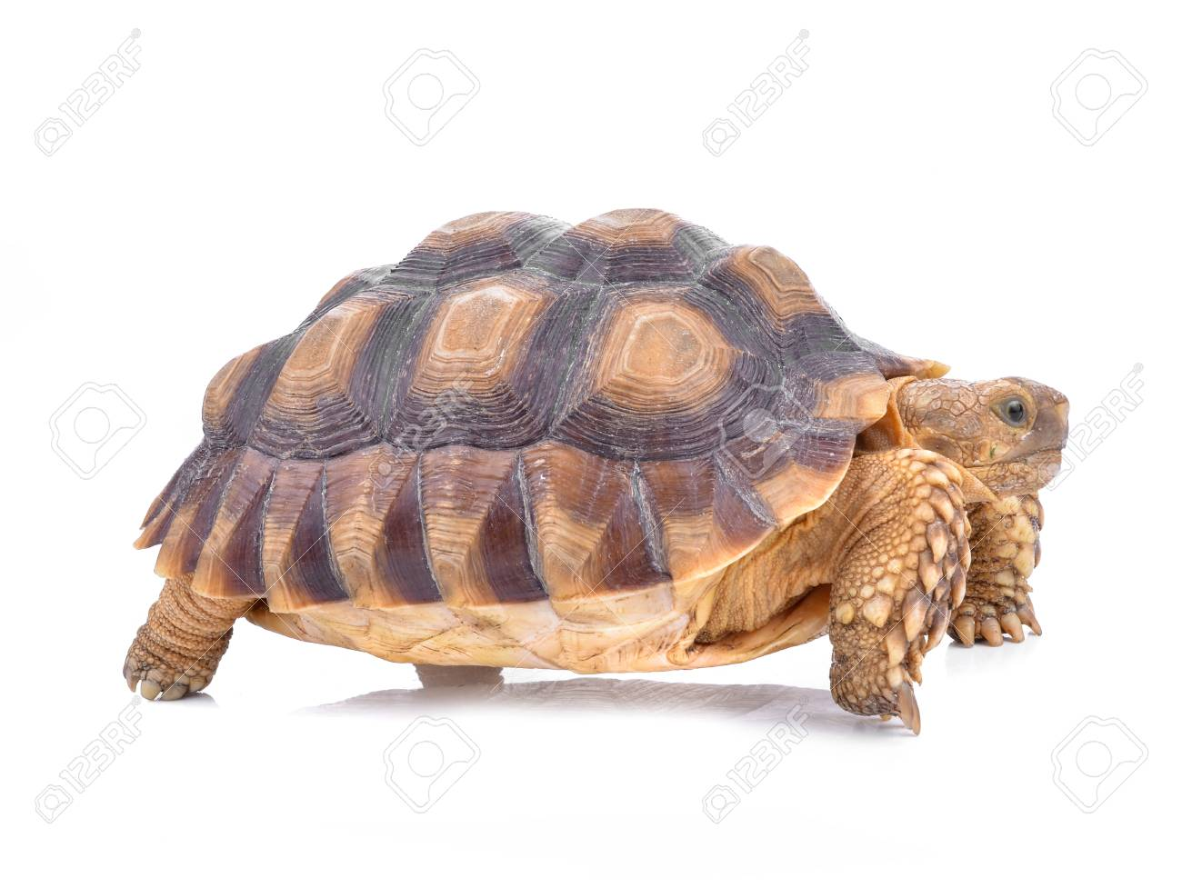 Turtles isolated on white - 95180339
