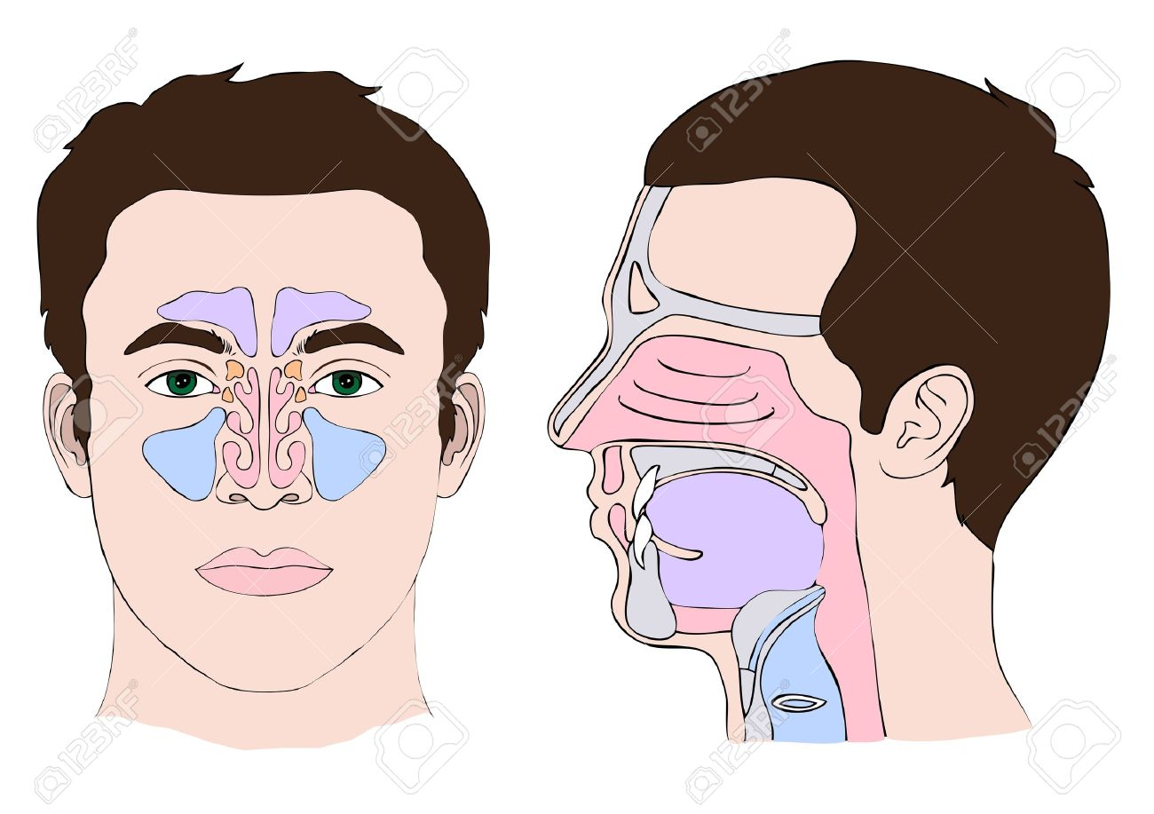 Anatomy Of The Nose And Throat Royalty Free Cliparts, Vectors, And ...